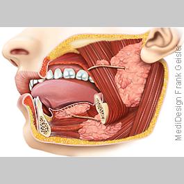 Anatomie Speicheldrüsen, Unterzungenspeicheldrüse, Unterkieferspeicheldrüse und Ohrspeicheldrüse des Menschen