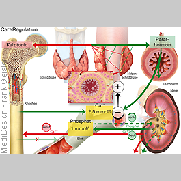 MedicalPictures Physiologie Steuerung Hormone Hormonhaushalt