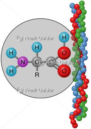 Aminosäure Molekül mit Collagen aus Kollagen-Tripelhelix - Medical Pictures