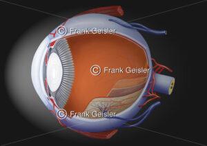 Anatomie Auge, Augapfel (Bulbus oculi) lateral gefenstert mit Schichten - Medical Pictures