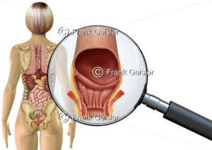 Anatomie Enddarm mit After der Frau, innere Organe im menschlichen Körper - Medical Pictures