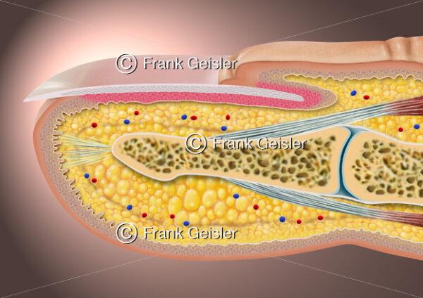 Anatomie Finger, Fingerkuppe mit Nagel (Unguis) - Medical Pictures