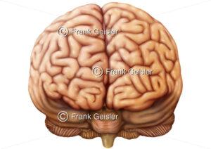 Anatomie Frontallappen Gehirn, Lobus frontalis, das Frontalhirn vom Großhirn Telencephalon - Medical Pictures