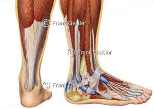 Anatomie Fuß, Achillessehne Tendo calcaneus mit Wadenmuskeln - Medical Pictures