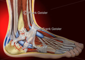 Anatomie Fuß, Ferse mit Achillessehne und Sehnenscheiden - Medical Pictures