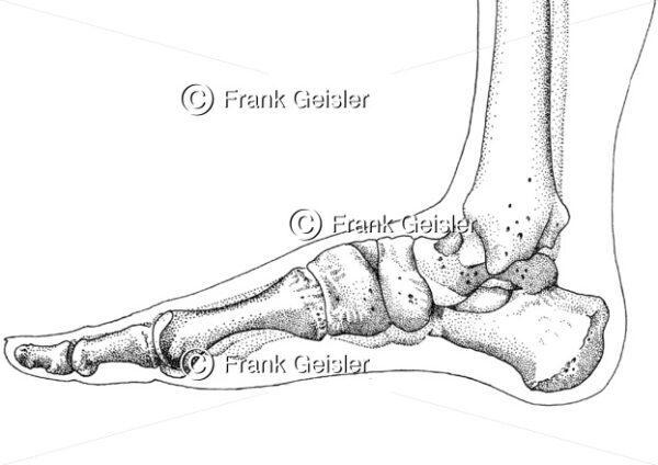 Anatomie Fußskelett, Gelenke und Knochen des Fußes - Medical Pictures