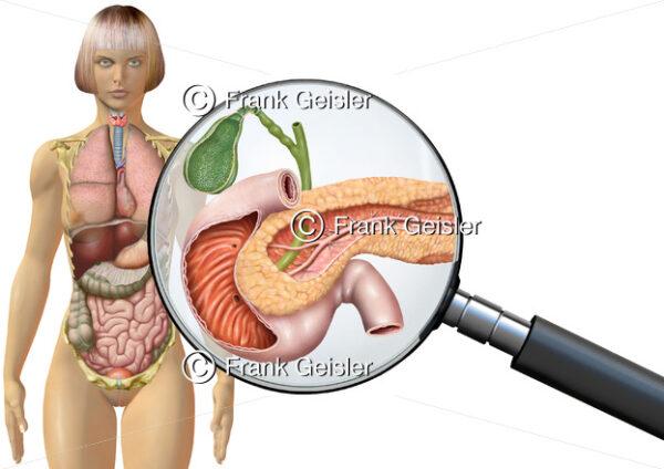 Anatomie Gallenblase, Bauchspeicheldrüse und Zwölffingerdarm der Frau, innere Organe im menschlichen Körper - Medical Pictures
