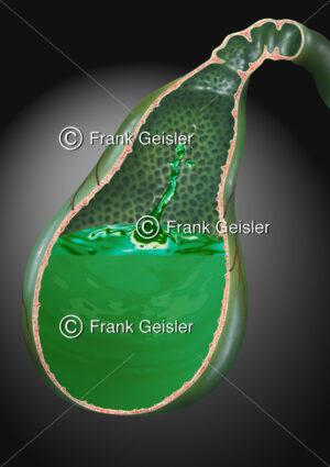 Anatomie Gallenblase (Vesica fellea oder biliaris) mit Galle - Medical Pictures