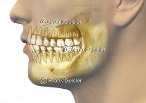 Anatomie Gebiss Oberkiefer und Unterkiefer, Zähne mit Zahnwurzeln - Medical Pictures