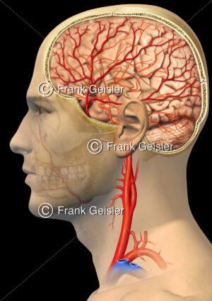 Anatomie Gehirn (Cerebrum), Blutversorgung durch A. carotis communis, interna, externa) - Medical Pictures