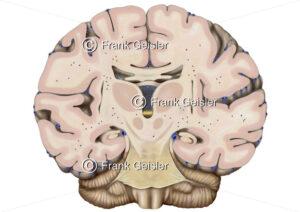 Anatomie Gehirn, Frontalschnitt durch das Mittelhirn - Medical Pictures