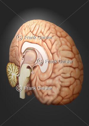 Anatomie Gehirn, Hirnhälfte mit Großhirn, Mittelhirn und Hirnstamm sowie Kleinhirn - Medical Pictures