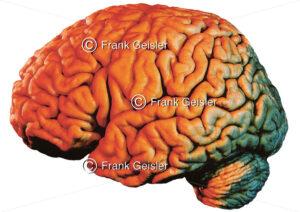 Anatomie Gehirn, Lateralansicht Großhirn (Telencephalon) und Kleinhirn (Cerebellum) - Medical Pictures