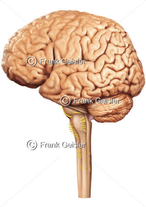Anatomie Gehirn mit Großhirn, Hirnstamm, Kleinhirn und Rückenmark - Medical Pictures