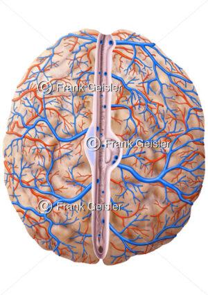 Anatomie Gehirn mit Hirnhaut, Blutgefäße Arterien und Venen - Medical Pictures