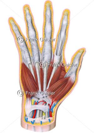 Anatomie Hand, Muskulatur und Sehnen der Hand (Manus) - Medical Pictures