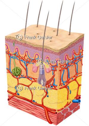 Anatomie Haut, Hautschichten mit Blutgefäße, Schweißdrüse und Haar - Medical Pictures