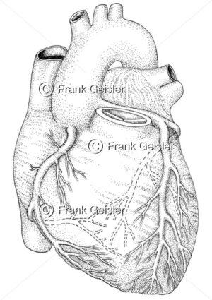 Anatomie Herz, Herzklappe und Koronargefäße - Medical Pictures