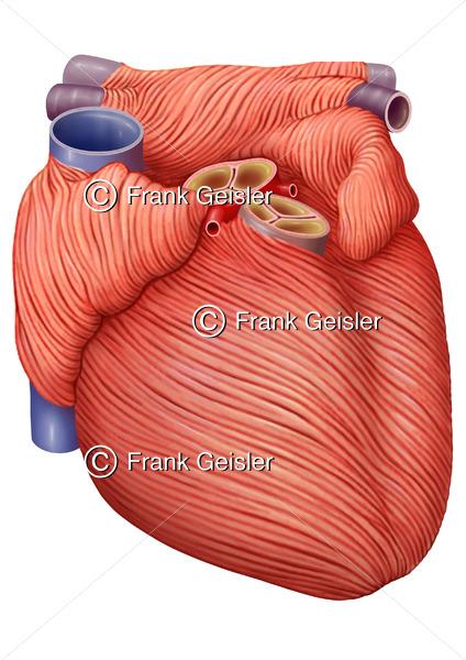 Anatomie Herz, Herzmuskulatur (Myokard) mit Aortenklappe und Pulmonalklappe - Medical Pictures