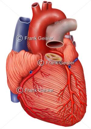 Anatomie Herz, Herzmuskulatur (Myokard) mit Koronararterien - Medical Pictures