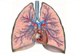 Anatomie Herz, Luftröhre und Lungen mit Bronchien und Lungengefäße - Medical Pictures