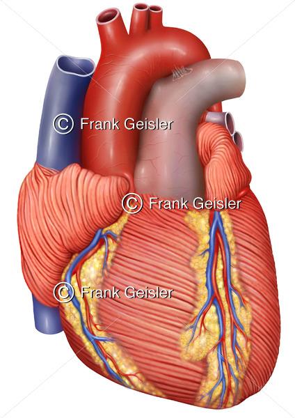 Anatomie Herz, Myokard des Herzens mit Koronargefäße - Medical Pictures