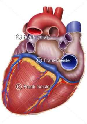 Anatomie Herz, Rückfläche des Herzens mit Koronargefäße - Medical Pictures
