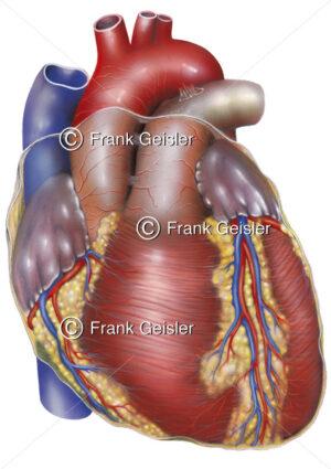 Anatomie Herz, Vorderfläche des Herzens mit Koronargefäße - Medical Pictures
