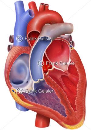 Anatomie Herz einer alten Frau mit Atrium, Herzklappen, Ventrikel, Hohlvene, Aorta, Lungenarterie und Lungenvene - Medical Pictures