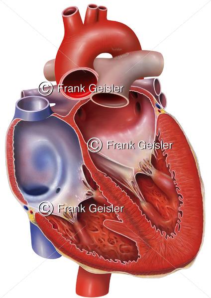 Anatomie Herz, eröffnetes Herz mit Vorhöfe (Atrien) und Herzkammern (Ventrikel) - Medical Pictures