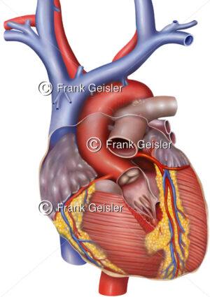 Anatomie Herz mit Aortenklappe Valva aortae und Koronargefäße - Medical Pictures