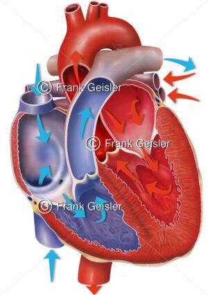 Anatomie Herz mit Fließrichtung Blutstrom, Atrien und Ventrikel mit Herzklappen - Medical Pictures