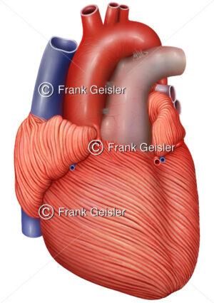 Anatomie Herz mit Herzmuskulatur (Myokard) - Medical Pictures