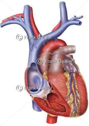 Anatomie Herz, rechter Vorhof (Atrium) und rechte Herzkammer (Ventrikel) eröffnet - Medical Pictures