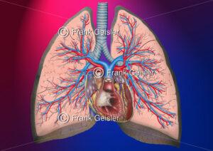 Anatomie Herz und Lungen mit Bronchien und Lungengefäße - Medical Pictures