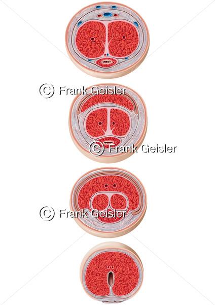 Anatomie Histologie Penisschaft Corpus penis und Eichel Glans penis mit Penisschwellkörper und Harnröhrenschwellkörper - Medical Pictures