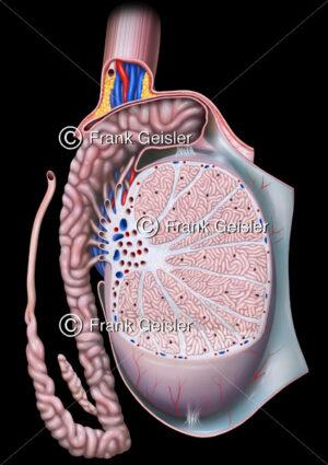 Anatomie Hoden und Nebenhoden mit Hodenkanälchen - Medical Pictures