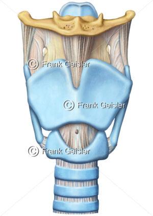 Anatomie Kehlkopfskelett Kehlkopf Larynx mit Knorpel, Bänder und Luftröhre Trachea - Medical Pictures
