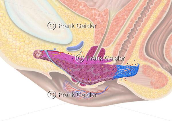 Anatomie Kitzler der Frau, Physiologie Erregung Klitoris weibliche Prostata - Medical Pictures