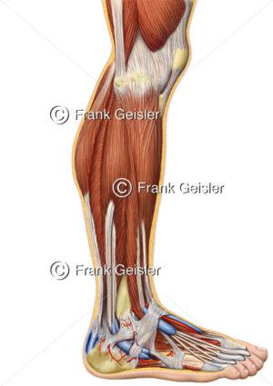 Anatomie Knie, Unterschenkel und Fuß mit Muskulatur und Achillessehne - Medical Pictures