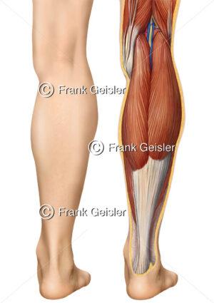 Anatomie Kniekehle, Unterschenkel mit Achillessehne von dorsal - Medical Pictures