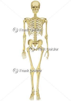 Anatomie Knochen im Skelett, Knochenskelett mit Schädel, Achsenskelett und Extremitätenskelett - Medical Pictures