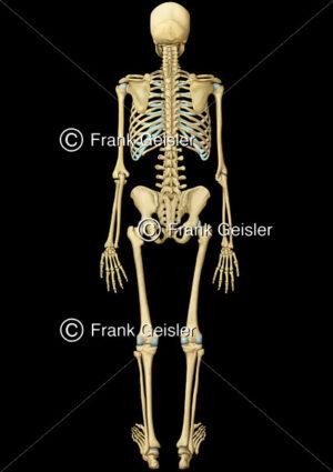 Anatomie Knochenskelett von dorsal, Skelett Knochen und Stützgerüst des Organismus - Medical Pictures