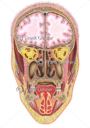 Anatomie Kopf, Frontalschnitt durch vordere Schädelgrube, Augenhöhlen, Nasenhöhle und Gesichtsgegend - Medical Pictures