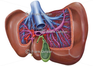 Anatomie Leber (Hepar), Viszeralansicht mit Gallenblase und Gefäßabzweigungen - Medical Pictures