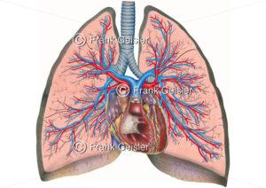 Anatomie Lunge, Schnitt durch Lungen mit Bronchien, Herz und Lungengefäße - Medical Pictures