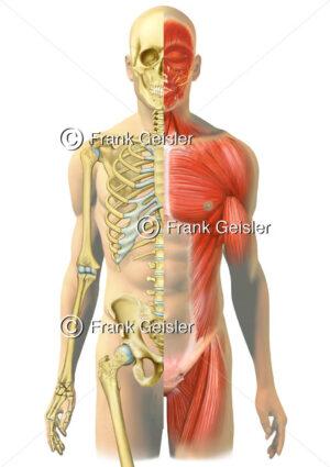Anatomie Mensch, Skelett und Skelettmuskulatur - Medical Pictures