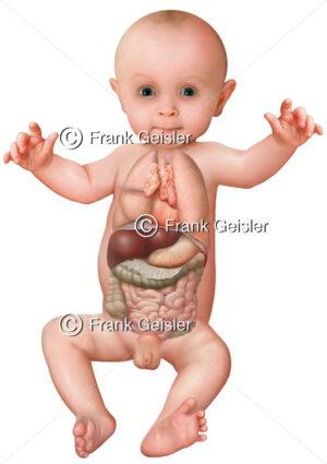 Anatomie Mensch, Thorax und Abdomen mit innere Organe beim Kleinkind (Säugling, Baby) - Medical Pictures