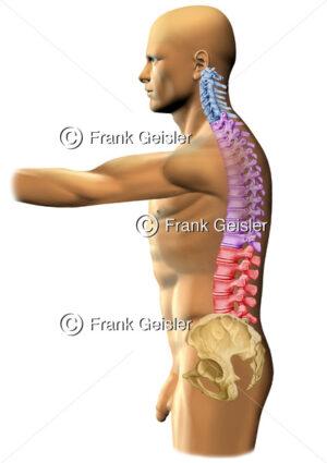 Anatomie Mensch mit Halswirbelsäule, Brustwirbelsäule, Lendenwirbelsäule und Becken - Medical Pictures
