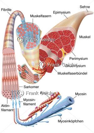 Anatomie Muskel, Muskelaufbau Muskelstruktur Muskelgewebe mit Muskelfasern und Muskelzellen - Medical Pictures